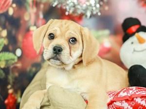 Puggle-DOG-Female-Fawn-2568588