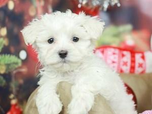 Maltese-DOG-Male-White-