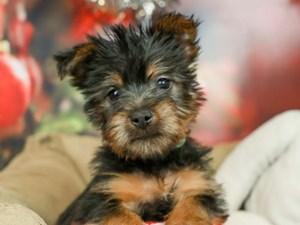 Silky Terrier-DOG-Male-BLACK/TAN-2569051