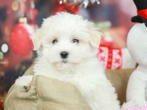 Maltese-DOG-Male-White-2568542