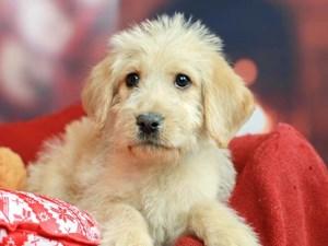 Labradoodle-DOG-Female--2564009