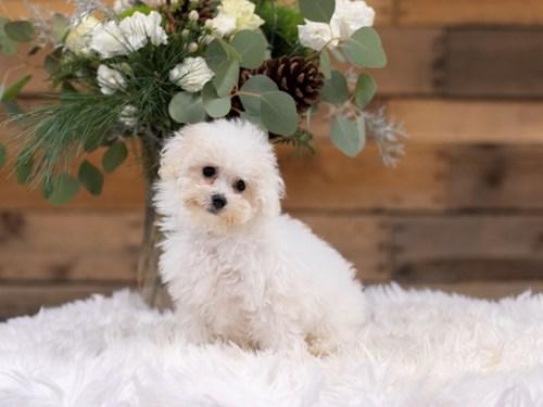 Grand Rapids Poochon Dog Adoption Grand Rapids, MI