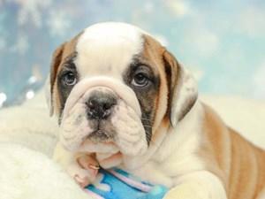 English Bulldog-DOG-Female--2574957