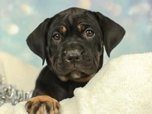Cane Corso-DOG-Female--2575073