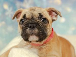 French Bulldog-DOG-Female--2574910