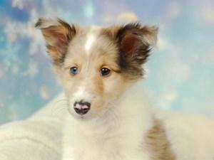 Shetland Sheepdog-DOG-Male--2575001