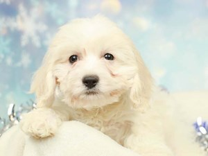 Cockapoo-DOG-Female-WHITE/CREAM-2574819