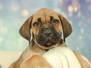 Cane Corso-DOG-Female--2575076