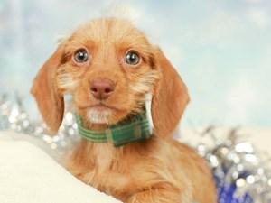 Dachshund-DOG-Female--