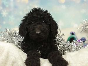 Standard Poodle-DOG-Female-BLACK-