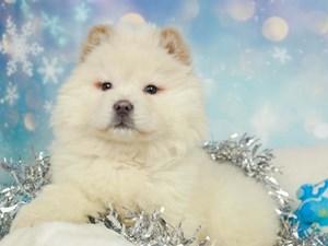 Chow Chow-DOG-Male-CREAM-