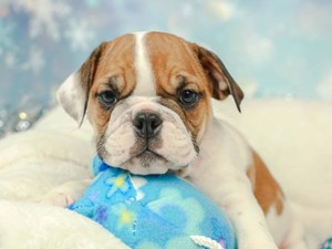 English Bulldog-DOG-Female--2574956