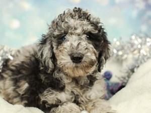 Standard Poodle-DOG-Male-BLACK/SLVR-