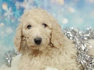 Standard Poodle-DOG-Female-CREAM-