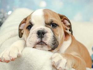 English Bulldog-DOG-Male--2574955