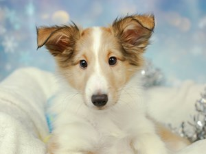 Shetland Sheepdog-DOG-Male--2575133