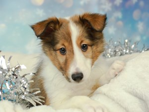 Shetland Sheepdog-DOG-Female--2575106