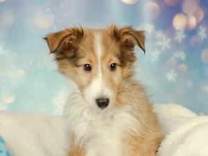 Shetland Sheepdog-DOG-Male--2575104