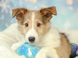 Shetland Sheepdog-DOG-Male--2575105