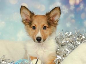 Shetland Sheepdog-DOG-Male--2575134