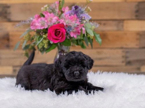 Grand Rapids Chow Chow/Soft Coated Wheaten Terrier Dog Adoption Grand Rapids, MI