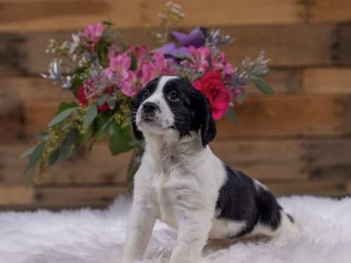 Grand Rapids English Springer Spaniel Dog Adoption Grand Rapids, MI