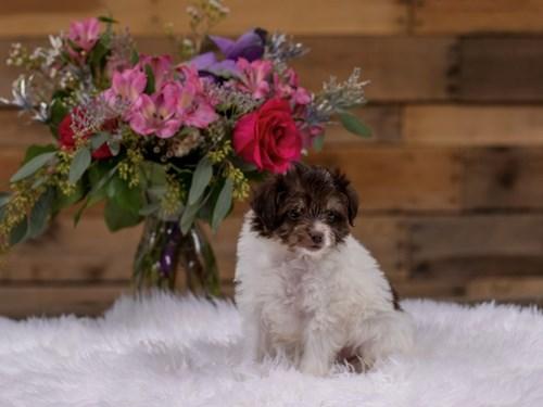 Grand Rapids Mini Aussipoo Dog Adoption Grand Rapids, MI