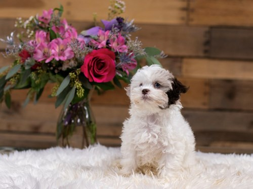 Grand Rapids Shipoo Dog Adoption Grand Rapids, MI