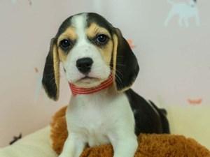 Beagle-DOG-Male--2583430