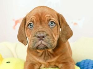 Dogue De Bordeaux-DOG-Female--2582501