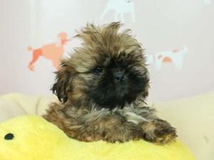 Lhasa Apso-DOG-Female--