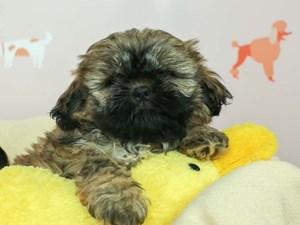 Lhasa Apso-DOG-Male--
