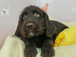 Labradoodle-DOG-Female--