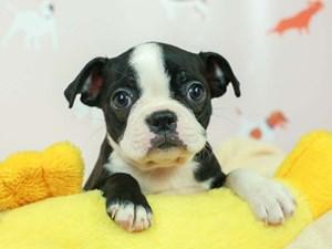 Boston Terrier-DOG-Female-BLACK/WHITE-