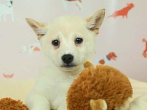 Shiba Inu-DOG-Male--2583433