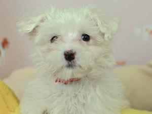 Maltese-DOG-Female-White-2582584