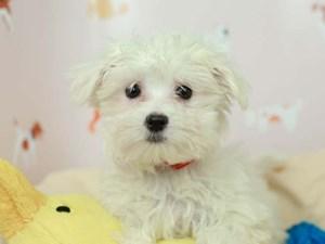 Maltese-DOG-Female-White-2582583