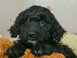 Golden Tulear-DOG-Female--2582798