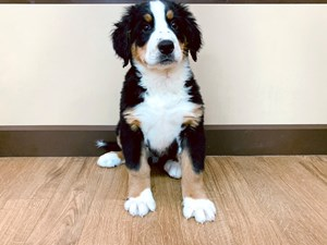 Dogs Puppies For Sale Petland In Grove City Columbus