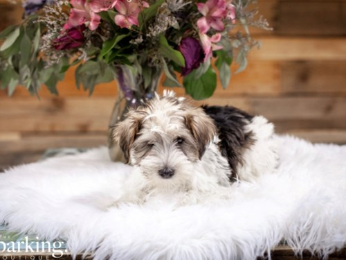 Grand Rapids Yorkie/Schnauzer Dog Adoption Grand Rapids, MI