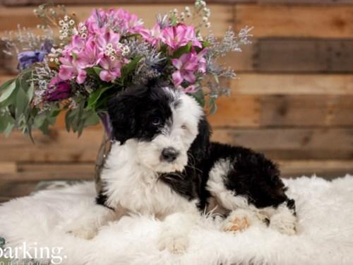 Grand Rapids Old English Sheepdog/Poodle Dog Adoption Grand Rapids, MI
