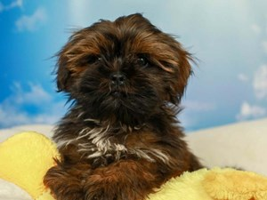 Shih Tzu-DOG-Male--2590254