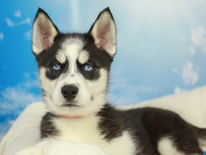 Siberian Husky-DOG-Female-Black and White-
