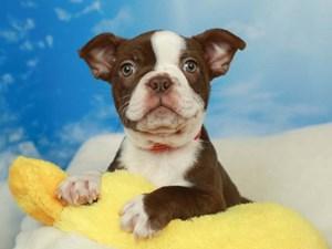 Boston Terrier-DOG-Female-Seal and White-