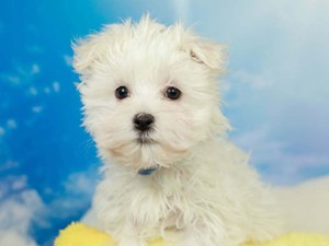Maltese-DOG-Male-White-2582558