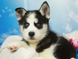 Siberian Husky-DOG-Male-Black and White-