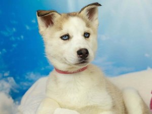 Siberian Husky-DOG-Female-Sable and White-