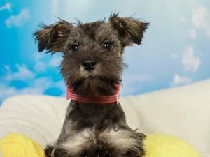 Miniature Schnauzer-DOG-Female-Salt and Pepper-