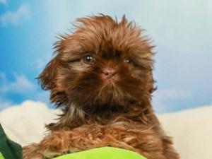 Shih Tzu-DOG-Female--