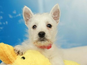 West Highland White Terrier-DOG-Female-White-